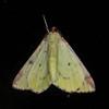 Brimstone Moth, Opisthograptis luteolata 0441