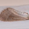 moth wing noid 0434