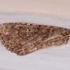 moth wing noid 0435