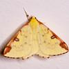 Brimstone Moth, Opisthograptis luteolata 0423