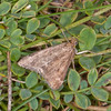 Straw-barred Pearl, Pyrausta despicata 0445
