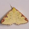 Brimstone Moth, Opisthograptis luteolata 0429
