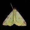 Brimstone Moth, Opisthograptis luteolata 0442