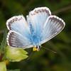 Chalkhill Blue, Polyommatus coridon 8581