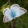 Chalkhill Blue, Polyommatus coridon 8586
