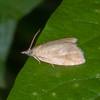 Yellow-spot Twist, Pseudargyrotoza conwagana 8738
