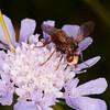 Thick-headed Fly, Sicus ferrugineus 8734