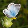 Chalkhill Blue, Polyommatus coridon 8577