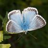 Chalkhill Blue, Polyommatus coridon 8583