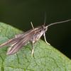 Bramble False-feather, Schreckensteinia festaliella 8786