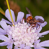 Thick-headed Fly, Sicus ferrugineus 8731