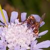 Thick-headed Fly, Sicus ferrugineus 8732