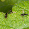 Ensign flies, Sepsis fulgens 8696