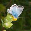 Chalkhill Blue, Polyommatus coridon 8574