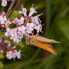 Essex Skipper, Thymelicus lineola 8716