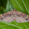 Red Twin-spot Carpet, Xanthorhoe spadicearia 8713