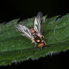 Dull Four-spined Legionnaire, Chorisops tibialis 8763