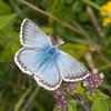 Chalkhill Blue, Polyommatus coridon 8590