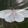 Common Wave, Cabera exanthemata 8612