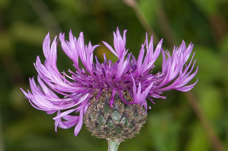 Greater Knapweed, Centaurea scabiosa 8642