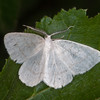 Common Wave, Cabera exanthemata 8618