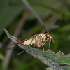 Scorpion fly ♀, Panorpa species 8694