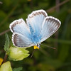 Chalkhill Blue, Polyommatus coridon 8580