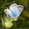 Chalkhill Blue, Polyommatus coridon 8576