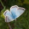 Chalkhill Blue, Polyommatus coridon 8585