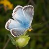 Chalkhill Blue, Polyommatus coridon 8578