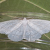 Common Wave, Cabera exanthemata 8615