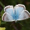 Chalkhill Blue, Polyommatus coridon 8584