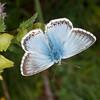 Chalkhill Blue, Polyommatus coridon 8587