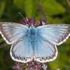 Chalkhill Blue, Polyommatus coridon 8589