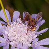 Thick-headed Fly, Sicus ferrugineus 8733