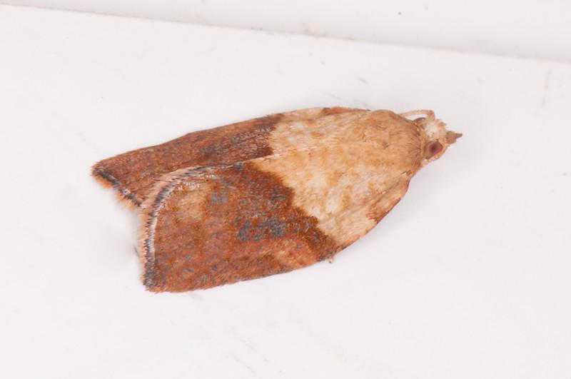 Light Brown Apple Moth, Epiphyas postvittana 0177