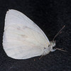 Small White, Pieris rapae possible ab immaculata 0310