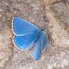 Adonis Blue ♂, Polyommatus bellargus 0256