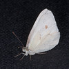 Small White, Pieris rapae possible ab immaculata 0308