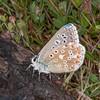 Adonis Blue ♂, Polyommatus bellargus 0262
