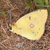 Clouded Yellow, Colias croceus 0289