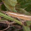 Common Grass-veneer, Agriphila tristella 0250