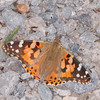 Painted Lady, Vanessa cardui 0229