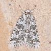 Marbled Green, Cryphia muralis 0192