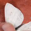 Small White, Pieris rapae possible ab immaculata 0315