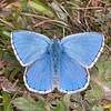 Adonis Blue ♂, Polyommatus bellargus 0299