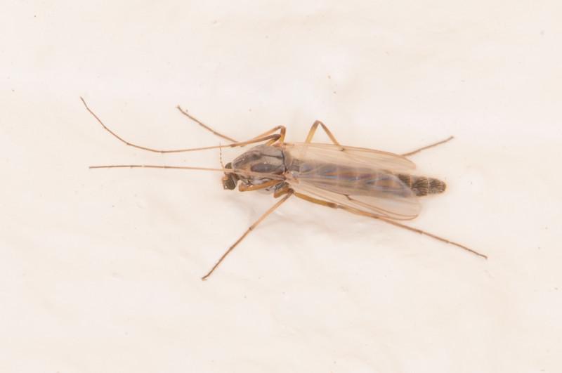 midge fly noid 0197