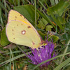 Clouded Yellow, Colias croceus 0273