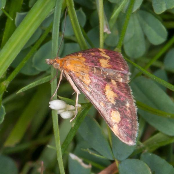 Common Purple and Gold, Pyrausta purpuralis 0242