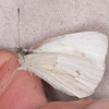 Small White, Pieris rapae possible ab immaculata 0320